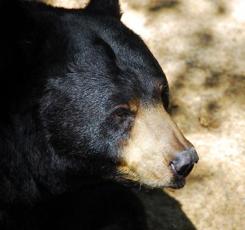 black-bear-1703700_640