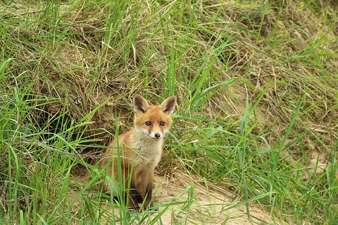 young-fox-1404017_640
