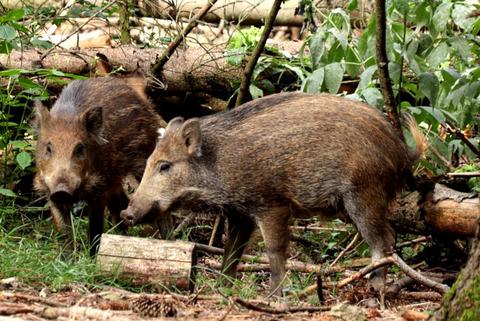 boar-5158573_1280