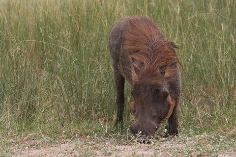 warthog-4437822_640