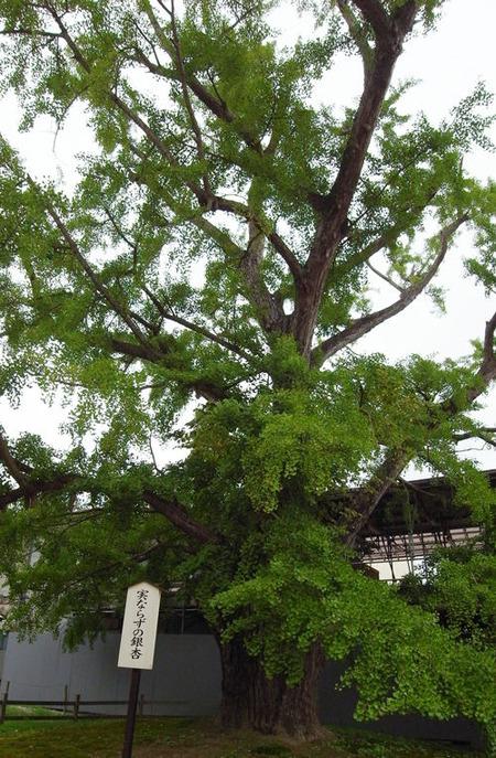 勝興寺、銀杏