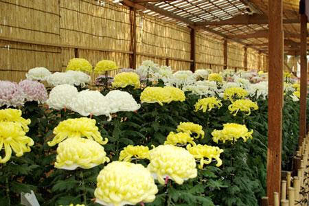 靖国神社200810奉納菊花2