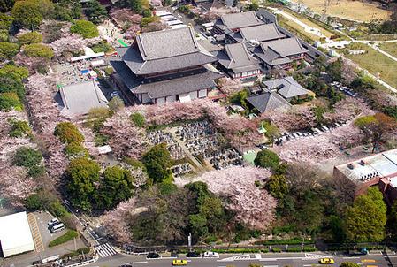 増上寺・桜