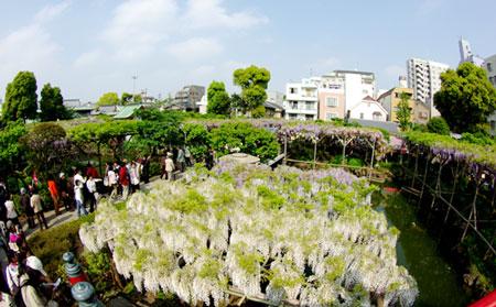 200804亀戸天神3