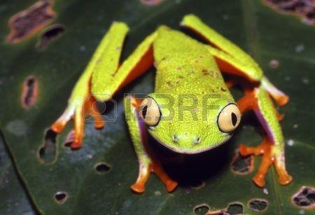 10900842-amazonian-monkey-frog-agalychnis-hulli-
