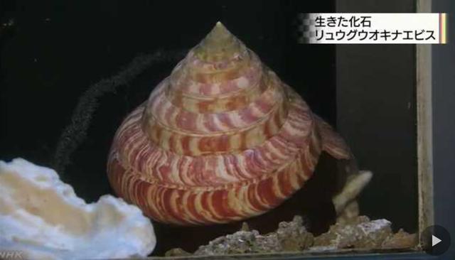 Screenshot_2018-08-27 水族館に 希少な深海の巻き貝 NHKニュース