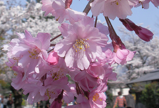 渡月橋で桜をアップ