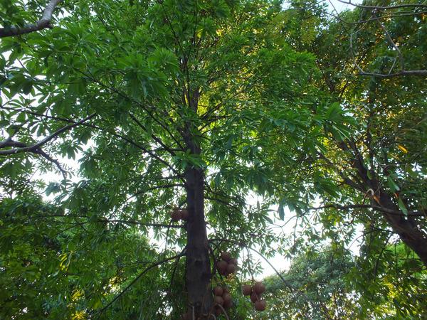 ホウガンノキの樹木