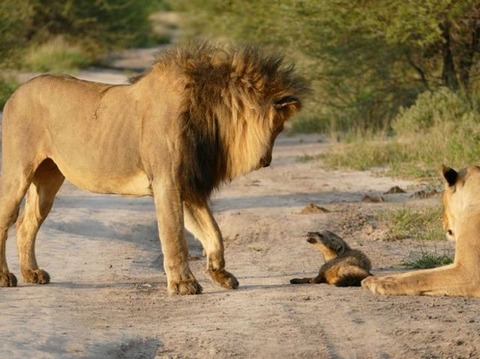 lion-fox-story6