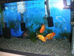 金魚 11-05