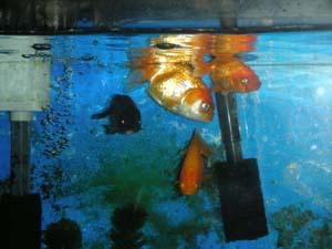 7月 金魚