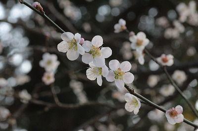 20130309北野天満宮梅 (119)