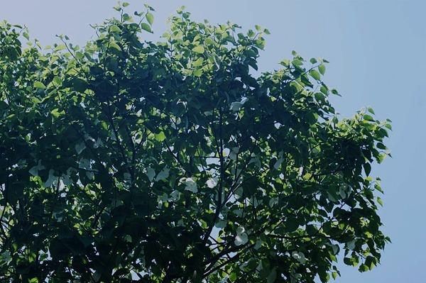 ハンカチの木3