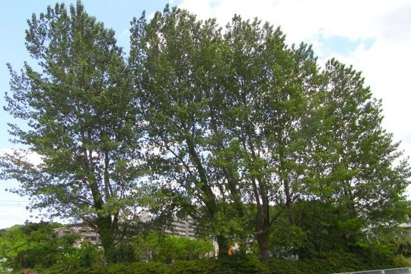 川沿いの高い木々