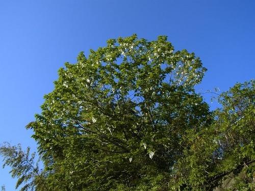 ハンカチの木2012