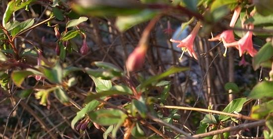 ウグイスカグラ葉2
