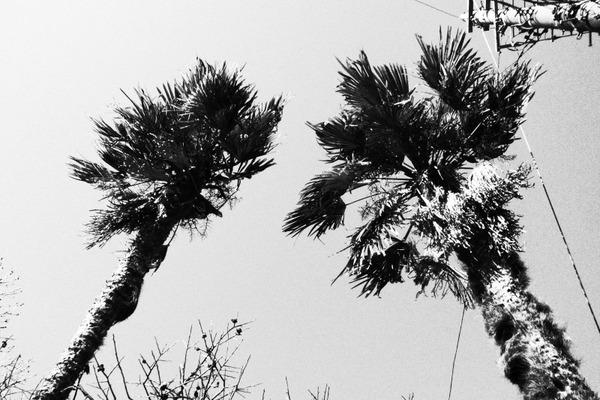 小沢さんちの棕櫚