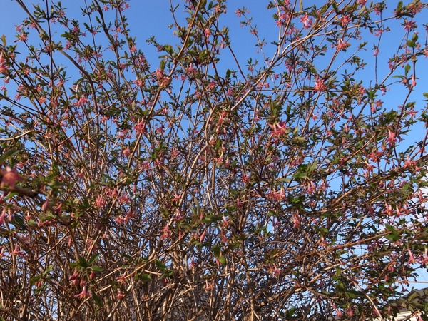 ウグイスカグラ葉