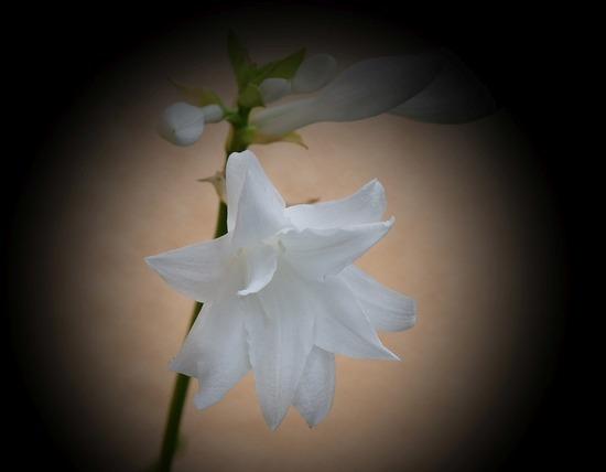 八重咲きタマノカンザシ