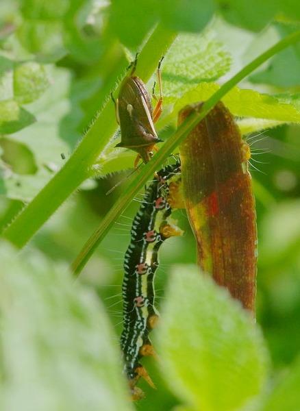 シロヘリクチブトカメムシ フクラスズメの幼虫をチューチューするなり