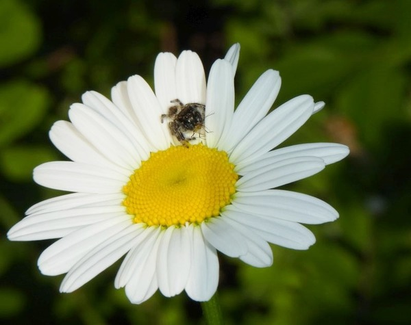 小さな命の消失 マーガレットの花の上で