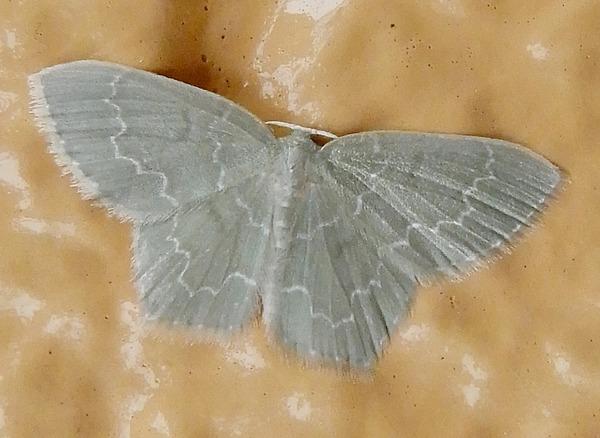 ヒメウスアオシャク