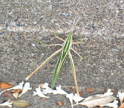 ショウリョウバッタ 混合型(緑色褐色スジ型)