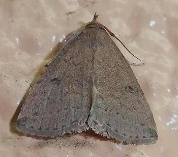 ヤクシマコブヒゲアツバ