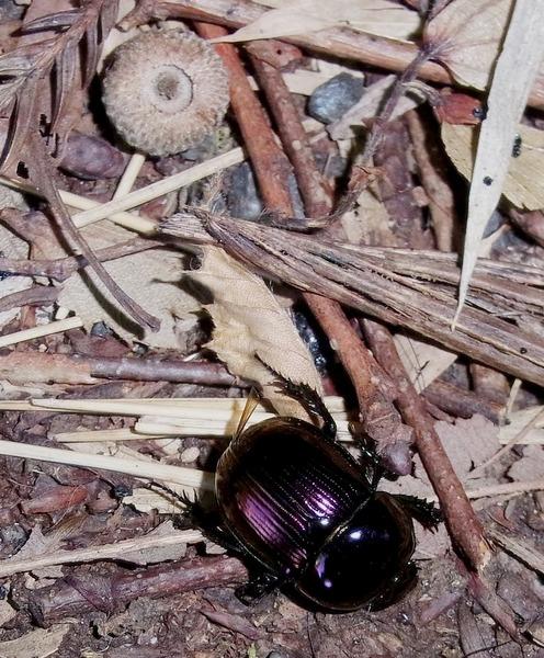 オオセンチコガネ 紫色の