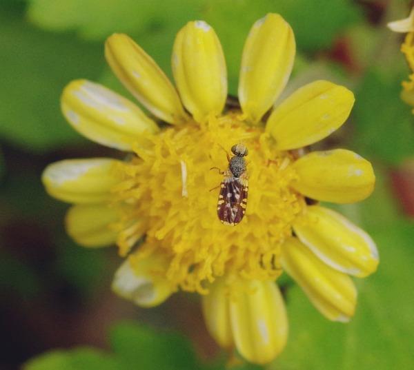 ネッタイヒメクロミバエ