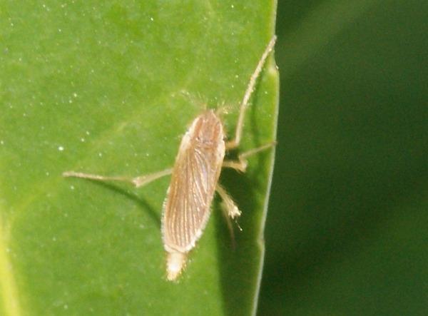 不明種 ゴキブリのような蛾のような