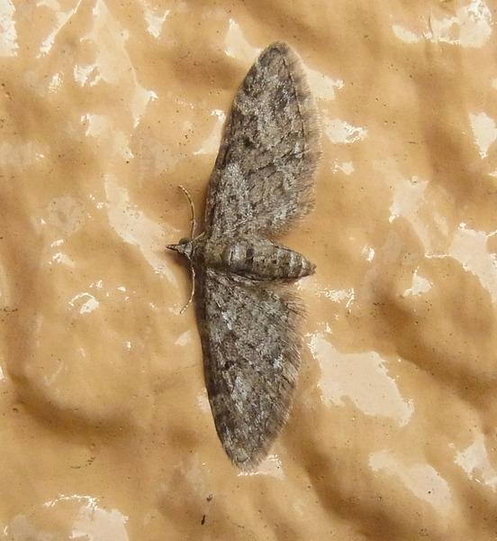 カバナミシャクの1種、マエアカスカシノメイガ