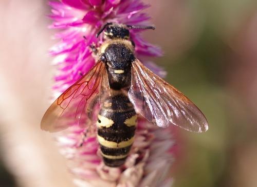 オオモンツチバチ ♀