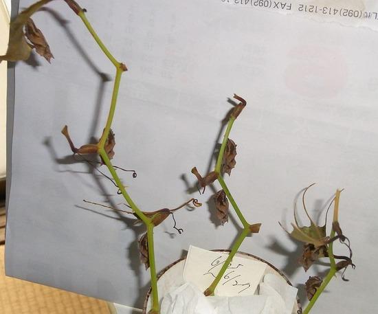 ルリタテハの幼虫 7月1日