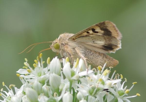 オオタバコガ  韮の花で吸蜜
