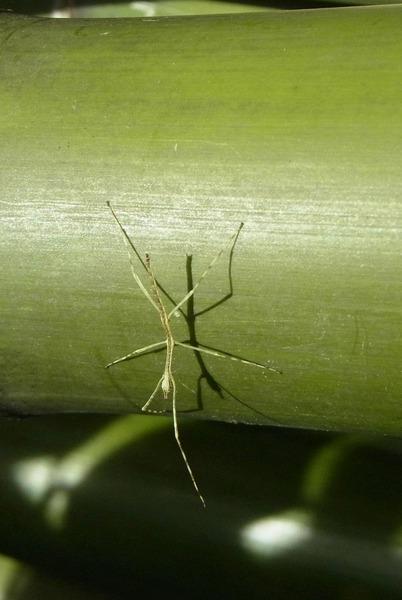 ナナフシモドキの幼体