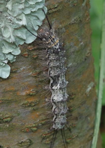 カシワマイマイ 巨大幼虫