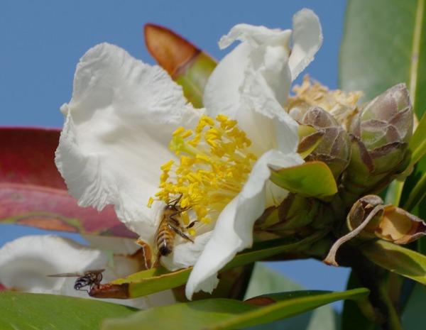 タイワンツバキとセイヨウミツバチ