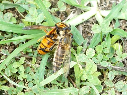シオヤアブ キイロスズメバチを捕獲
