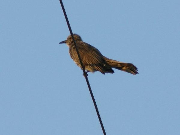 電線でさえずる鳥