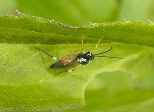 ヒラタアブヤドリヒメバチの一種
