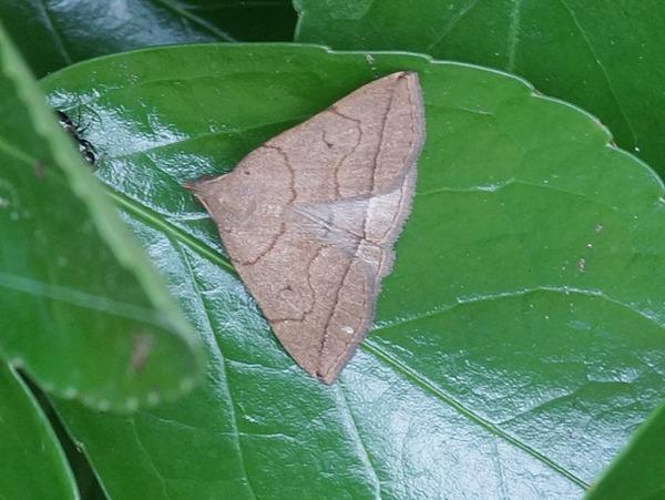 ホンドコブヒゲアツバ