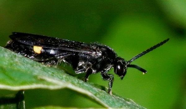 キオビツチバチ