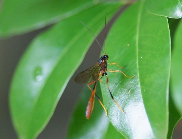 ヒメバチの仲間 コンボウアメバチ亜科?