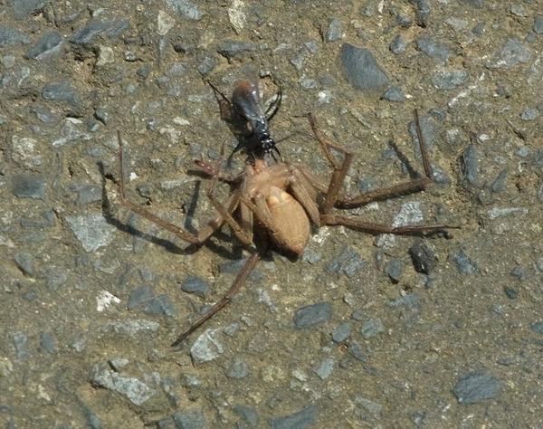 ツマアカクモバチ 大きな蜘蛛を運ぶ事