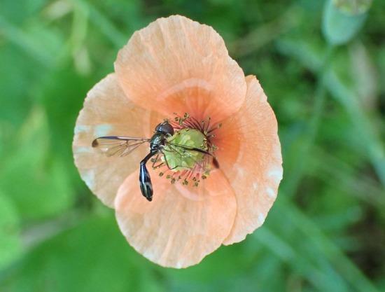ツマグロコシボソハナアブ Allobaccha apicalis