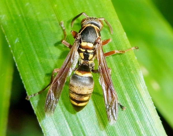 コアシナガバチ