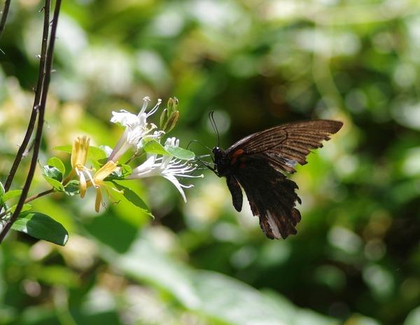 ナガサキアゲハ  翅がボロボロ