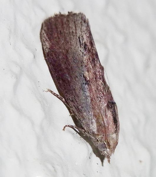 ハチノスツヅリガ