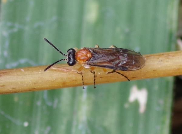イヌノフグリハバチ